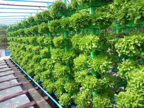 Vertical Garden Lettuce by Service Provider Of Poly House Hydroponic Kits By Flora