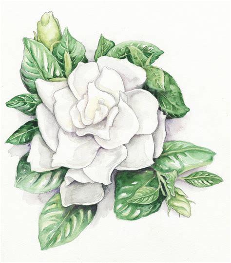 Gardenia Drawing by Gardenia Jasminoides Chuck Oregonlive