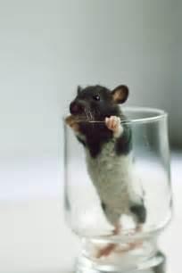 Cute Baby Pet Rats