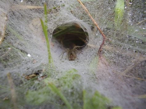 Are Grass Spiders Poisonous?