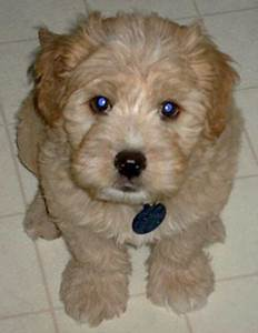 Brown Maltese Dog Mix