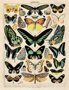 Butterfly Diagram 1 Poster Vintage Reproduction  French