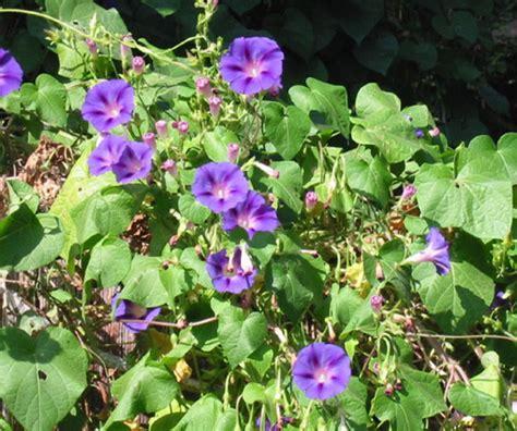 weeds with purple flowers identifying common garden weeds weedicide co uk