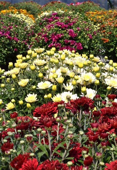 Should you treat mums as perennials or annuals? - Buffalo ...
