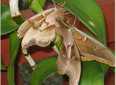 Polyphemus moths mating Wild Ones – St Louis Chapter