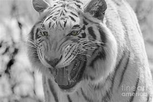 Black Tiger With Green Eyes | www.imgkid.com - The Image ...