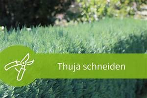 Wann Thuja Schneiden : thuja schneiden anleitung zum j hrlichen thujaschnitt ~ Markanthonyermac.com Haus und Dekorationen