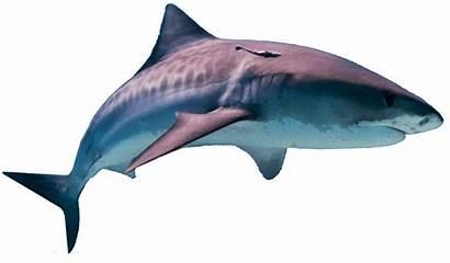 Shark Transparent Pluspng Above Freepngimg 1082