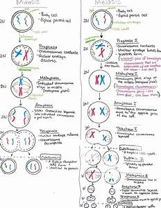 Diagram  Steps Of Meiosis Diagram