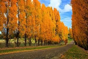 Planting Hybrid Poplar  Pros And Cons