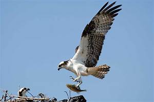 Return of the Osprey « Long Island Sound Study