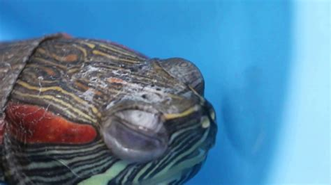 eared slider shedding two 6 year eared sliders are overfed