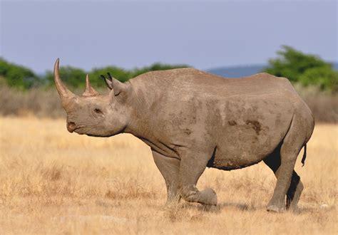 Saving Black Rhinos Through 'Radical Conservation' - The Crux