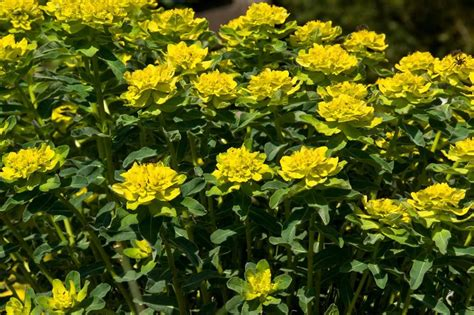Mediterrane Kübelpflanzen Winterhart by Mediterrane Stauden Sonnenbl 252 In Ihrem Garten