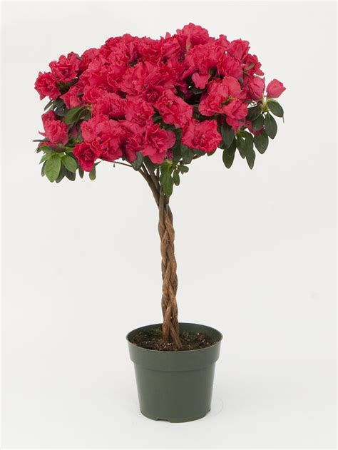 tree miniature 6 inch pot azaleas trees miniature and pots