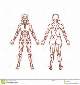 Female Muscular System Diagram Anatomy