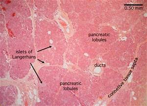 Pancreas Slide | Pancreas Histology - Pancreas (labels ...