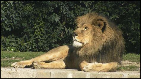 Large Male African Lion (panthera Leo) Youtube
