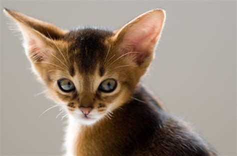 5 Amazing Cats With Big Ears On Worced