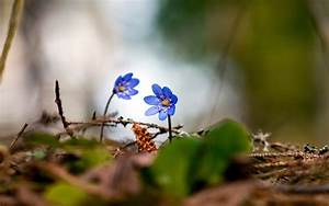 Two blue flowers / 2560 x 1600 / Macro / Photography ...