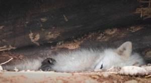 Bébé Loup Blanc : un b b loup arctique aux grottes de han mat l ~ Farleysfitness.com Idées de Décoration