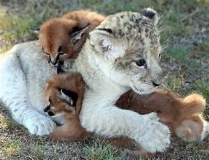 Lion cubs images cute lion cub wallpaper and background ...