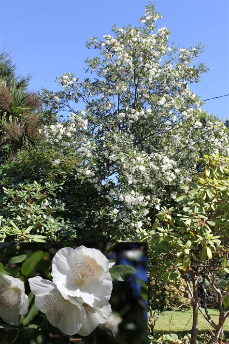 small evergreen trees eucryphia x nymansensis nymansay stunning late summer fall flowers on a small semi evergreen