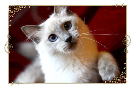 Cats Breeders by Traditional Siamese Cat Breeder Kittens For Sale Applehead