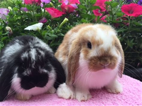 scottish dwarf lops and mini lops for sale
