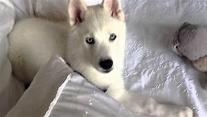 Zapada's Adventures ( white Siberian Husky)!! - YouTube