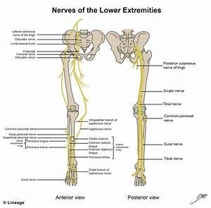 Motor Innervation Of Leg