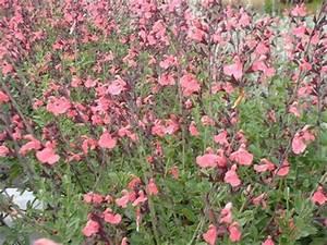 La Sauge Plante : salvia la siesta sauge arbuste ~ Melissatoandfro.com Idées de Décoration
