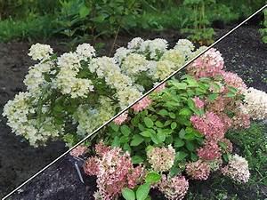 Hydrangea Paniculata Bobo : hydrangea bombshell garden ideas w ogrodzie ~ Michelbontemps.com Haus und Dekorationen