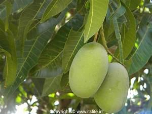 Mango Tree   Alphonso Mangoes   Mangoes   Indian Mangoes