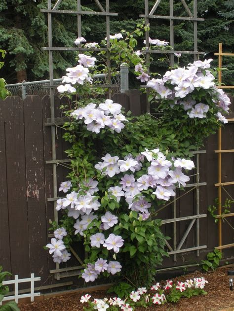 vining plants for sun 1000 images about climbing vines on pinterest moonflower wisteria and trumpet