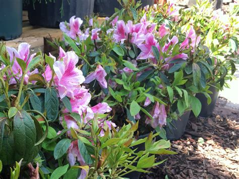 growing conditions for rhododendron masterpieces for your yard azaleas blackhawk hardware