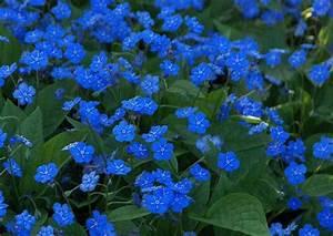Bodendecker Blaue Blüten : omphalodes verna waldvergissmeinnicht blau bl hender bodendecker garten steingarten ~ Frokenaadalensverden.com Haus und Dekorationen