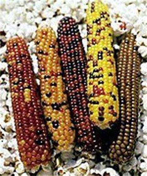 colored popcorn kernels 1000 images about colored popcorn kernels on
