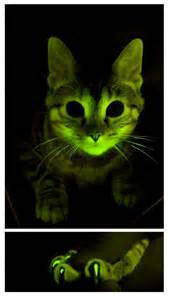 glow in the cat glow in the cats could shed light on aids research