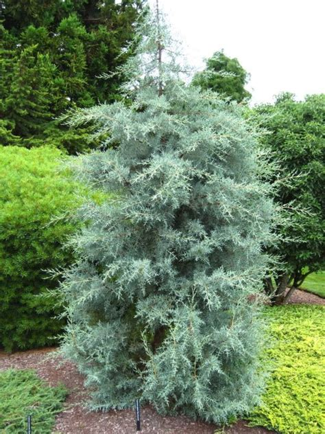 cupressus arizonica blue pyramid 17 best images about plant ideas and more on pinterest gardens jasmine and himalayan