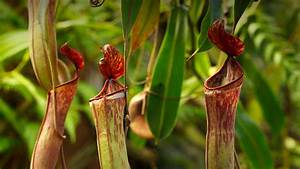 Tropical Pitcher Plant | San Diego Zoo Animals & Plants