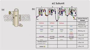 Calcium Channel Structure And Human Mutations   A