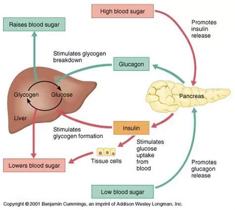 control  blood glucose biology notes   level