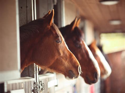 horses smart ulcers stomach npr king getty human she does they he says cognition diet