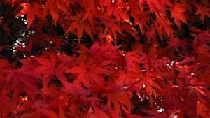 Ahorn Rote Blätter : f cherahorn japanischer ahorn rote bl tter herbst kostenlose fotos kostenloser download ~ Eleganceandgraceweddings.com Haus und Dekorationen