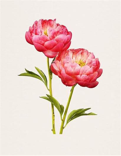 Flowers Toma Kenji Flower Realistic Peony Charm