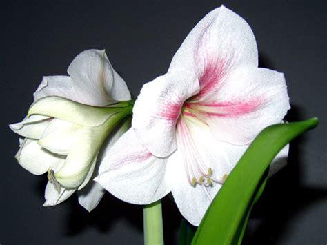 amaryllis hippeastrum fleur rempotage entretien