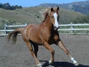 Quarter Horse Galloping