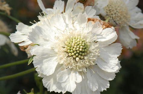 Scabiosa Perfecta White Grows On You