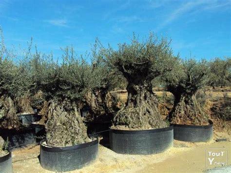 olivier bonsai pas cher fressac 30170
